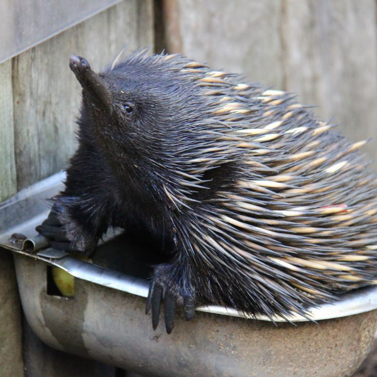 Lynx the echidna decided his water bowl was the perfect place to cool off during the hot weather this week.
