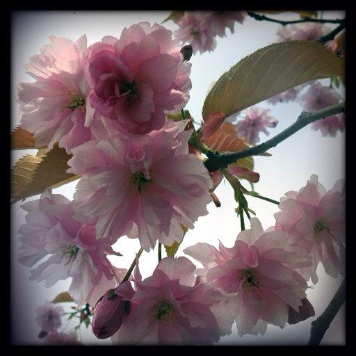 Kirsebær blom
