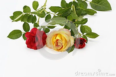 Tree roses on white background