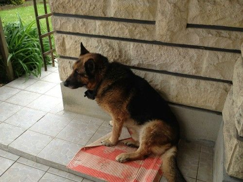 Donne berger allemand - Chiens a donner