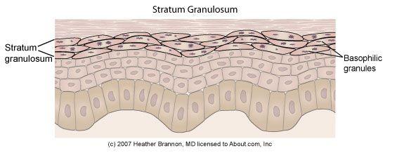 Epidermis Anatomy: Stratum Granulosum