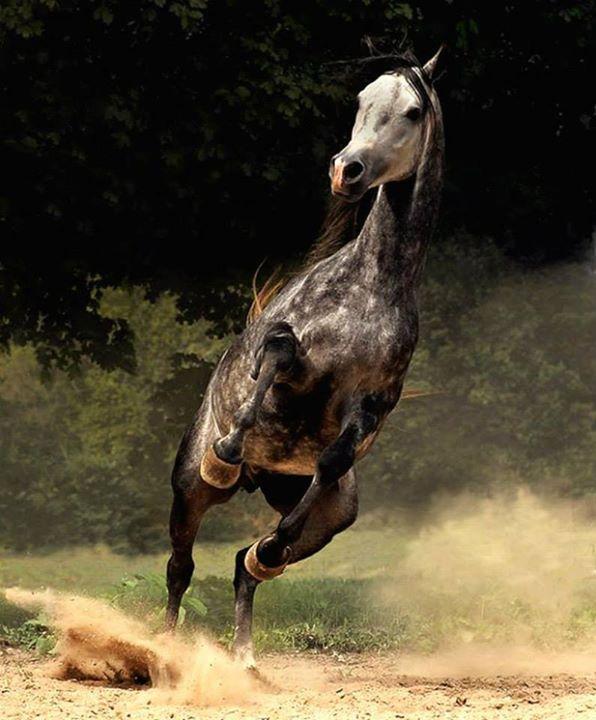 Quel cavallo non era stato creato per calpestare la terra, aveva l'istinto per aria, e ogni volta che spiccava il volo cercava di lasciarmi lì. web