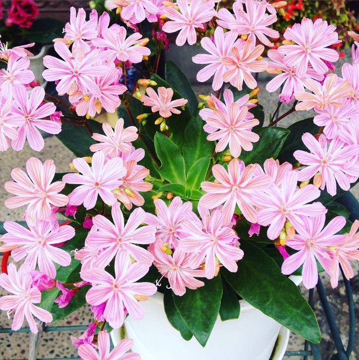 花びらの模様が綺麗 The design of the petal is beautiful. #花 #花びら #ピンク #100パーセントプロジェクト #flower #petal #beautiful #pink