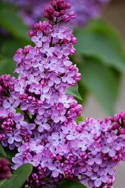 Love Love Lilacs | Backyards Click! ❤️Aline