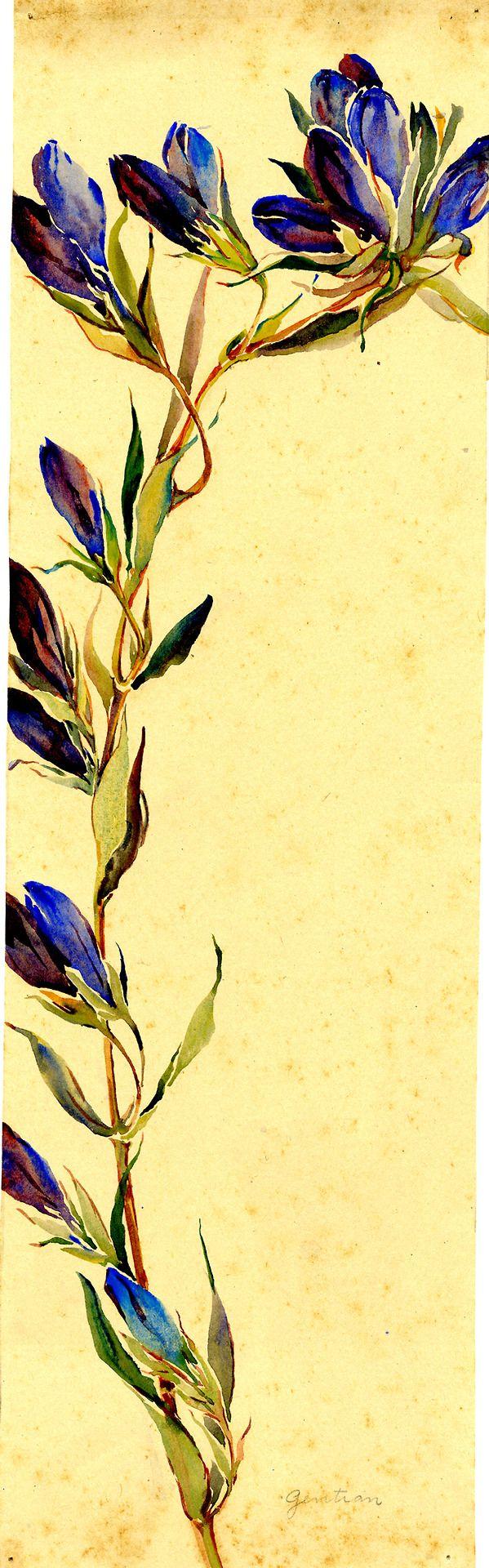 Watercolor, Gentian, by Alice Ravenel Huger Smith, a Charleston Renaissance artist. Charleston Museum