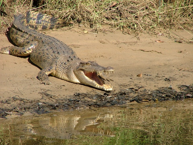 Daintree Croc