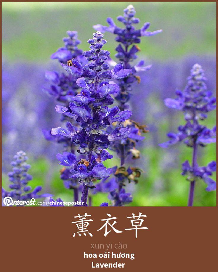 薰衣草 - Xūnyīcǎo - hoa oải hương - Lavender