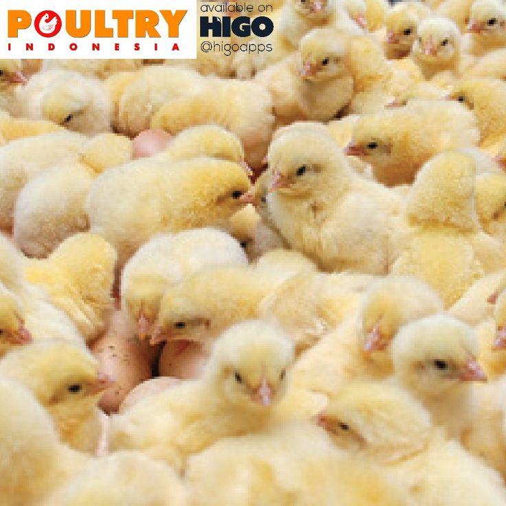 Evaluasi Supply & Demand DOC (Day Old Chick) dari majalah Poultry Indonesia tersedia di #HIGOapps http://ow.ly/4mIhq4  Banyaknya data di perunggasan termasuk data terhadap produksi DOC (Day Old Chick/ anak ayam umur sehari) telah membuat industri perunggasan tidak memiliki pijakan yang tepat untuk memperoleh angka sebenarnya. Para pelaku industri perunggasan, mulai dari pembibit, peternak, praktisi dan bahkan kalangan pemerintah, diakui atau tidak, mereka semua memiliki data…