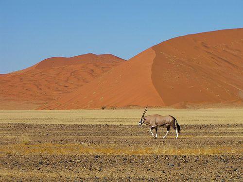 Orix in the desert, Namibia