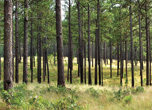 Long Leaf Pine: A Tree With Deep Southern Roots | Garden and Gun