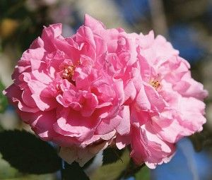 John Davis - Bred from `Kordesii'. The most beautiful of the very hardy Canadian Roses. Wonderful climber with double, sometimes quartered old-fashioned blooms of rich candy-pink opening to show golden centers.