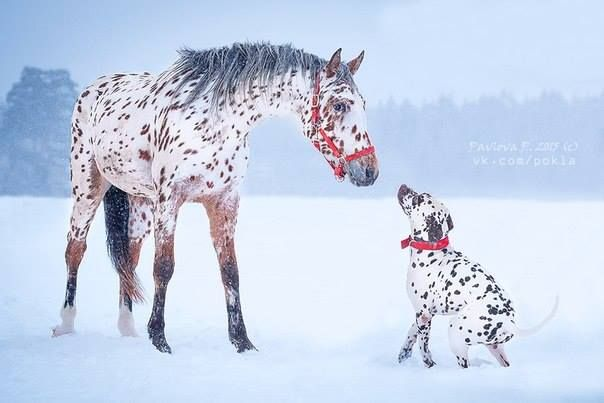 Liver Dalmatian playing with a bay leopard Appaloosa in the snow.
