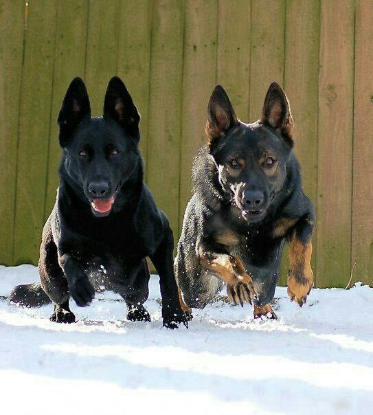 Black and Black Sable German Shepherds/Shadrach & Sabrina                                                                                                                                                                                 More