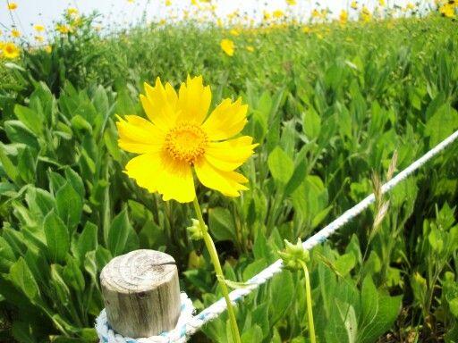 #유채꽃 #flower #yellow #이기대