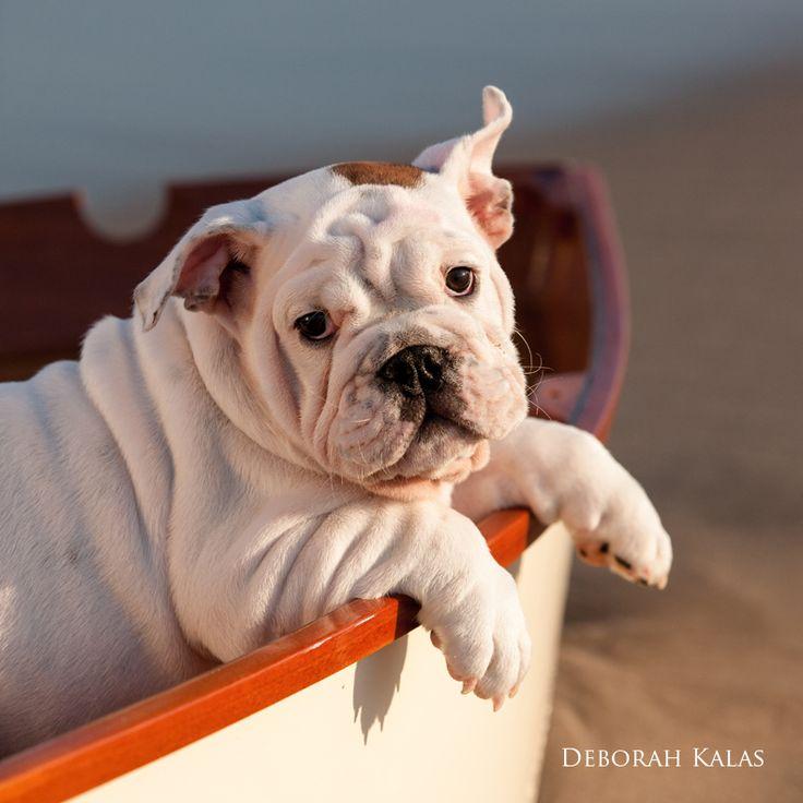 English bulldog goes sailing pet photography