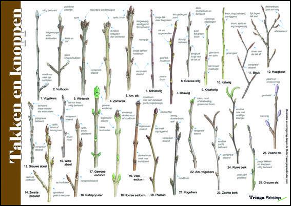 Herkenningskaart / zoekkaart Takken en Knoppen. Handige geplastificeerde kaart voor het op naam brengen van bomen in de winter