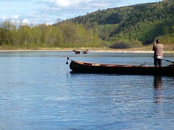 Moose on river run