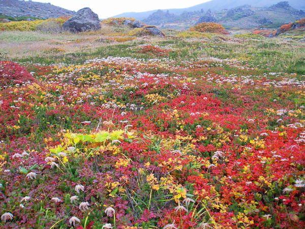 a field of alpine flowers tomuraushi hokkaido トムラウシ山