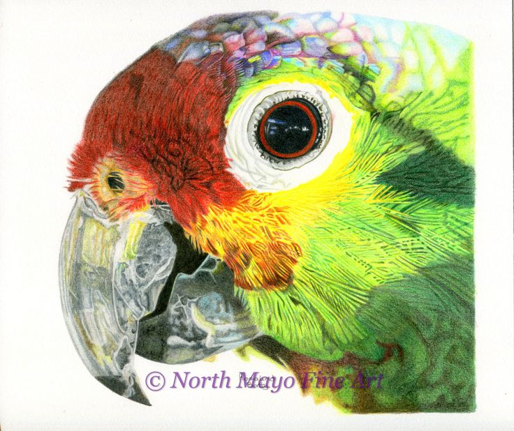 'Parrot' drawn with coloured pencils