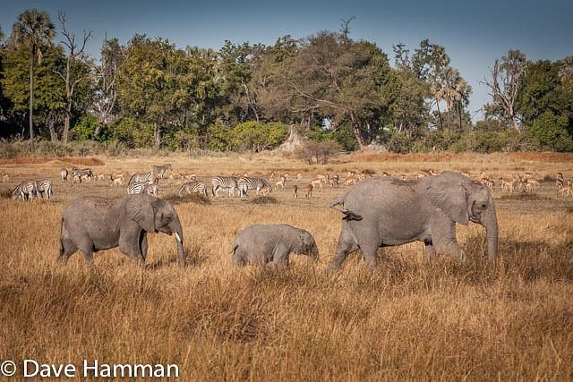 Both general game and predators thrive in Chitabe's varied habitat. Being able to see such a large variety of wildlife species and in such densities is remarkable #Botswana #OkavangoDelta