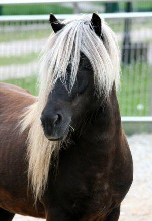 fascinating colours - icelandic horse