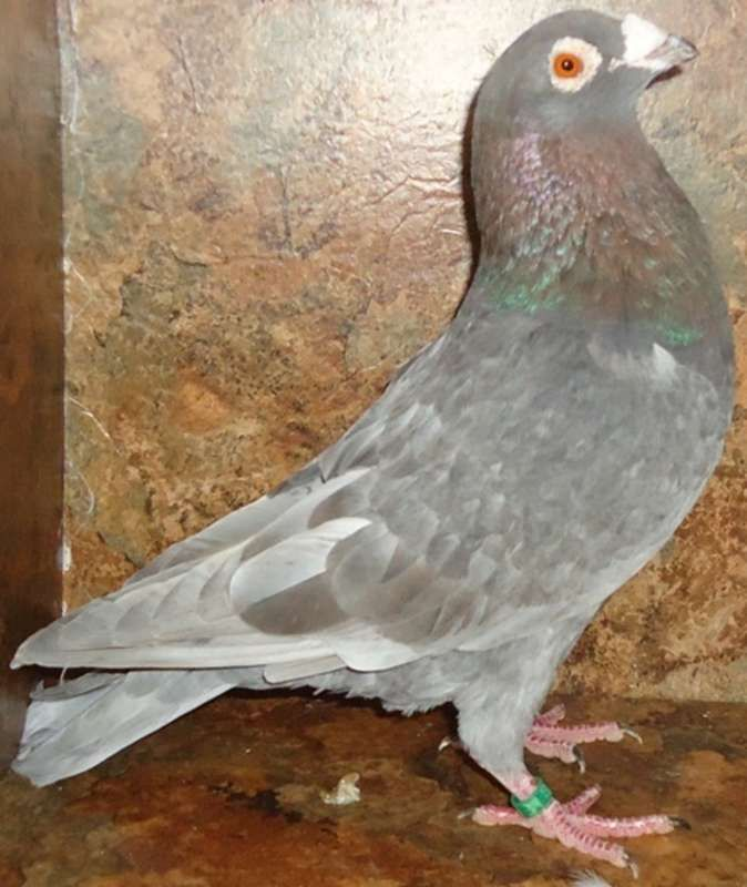 Homing Pigeons, Aka Racing Homers, Rare & Common Colored in Mechanicsburg, Ohio - Hoobly Classifieds
