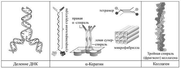 Спиралевидные структуры, деление ДНК, белок α-кератин, тройная спираль коллагена