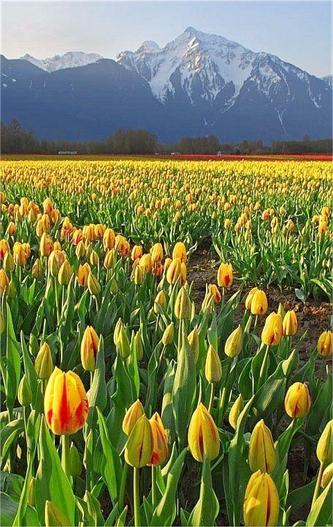 ✯ Tulip Field - British Columbia, Canada