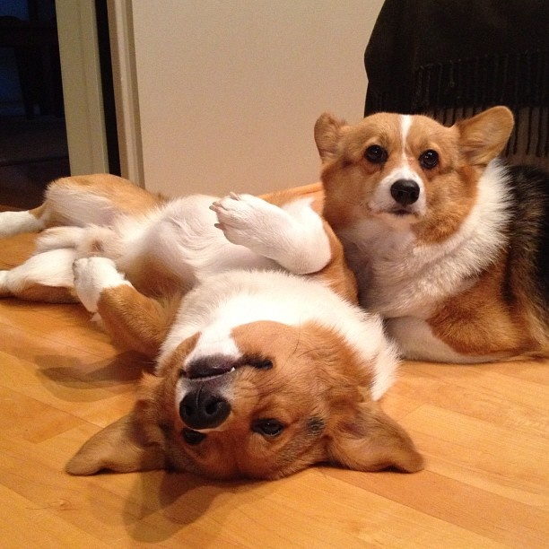 What is better than a Corgi? Two Corgis!Corgis Therapy, Corgis Rules, Corgis Obsession, Corgis National, Corgis Sweetheart, Corgis Disorder, Obsession Corgis, Corgis Pictures, Corgis Cavalcad