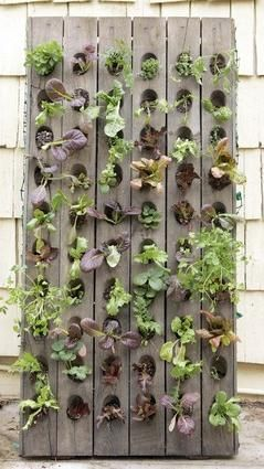 Anne Phillips' edible wall of lettuces, arugula, Swiss chard, mustard, strawberries and culinary herbs. Modern small-space vertical potager (ornamental vegetable/kitchen garden) built from pallets
