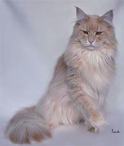 Maine Coon: Cream Silver (Cameo) Mackerel Tabby