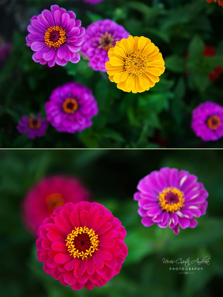 purple, yellow, pink flowers, summer, csutafoto