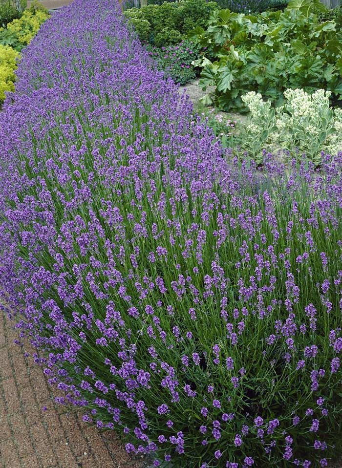 Few perennials can compare to Fragrant Lavender. An all-time favorite, these compact plants are so easy to maintain. Lovely silvery-green foliage is set off by the spikes of lavender flowers. The fragrant blooms are prized for use in potpourri and sachets. Plant in full sun to partial shade. Fragrant Lavender begins flowering in mid-summer and continues well into the fall. They will tolerate all soil types, are drought tolerant and ever deer resistant. Excellent in the perennial border, in…