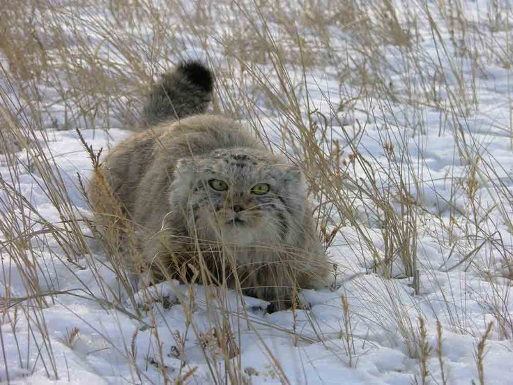 Pallas's cat (Otocolobus manul), also called the manul, is a small wild cat having a broad but patchy distribution in the grasslands and montane steppe of Central Asia. The species is negatively affected by habitat degradation, prey base decline, and hunting, and has therefore been classified as Near Threatened by IUCN since 2002.