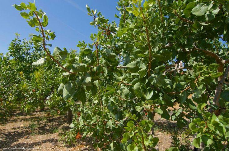 Pistachio trees, Aegina