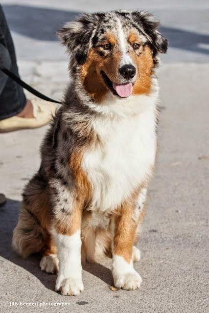 Australian Shepherd | Cute puppy and dog