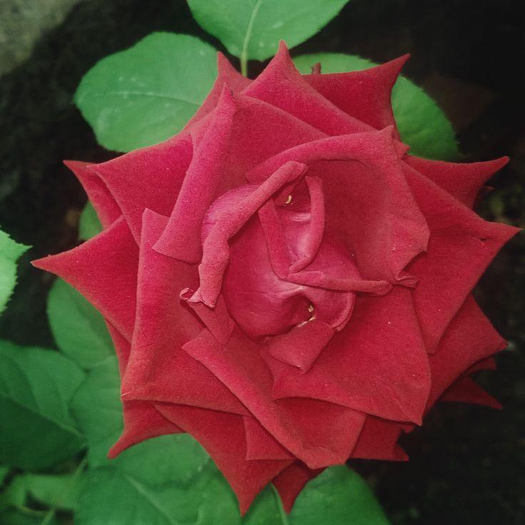 Una volta significava Amore, il fiorire di questa rosa.... Adesso è uno dei bei fiori del mio giardino... Nessun rimpianto... Troppo amor non è mai buono... MRM.