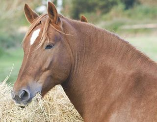 The Use of Metformin for the Treatment of Equine Metabolic Syndrome