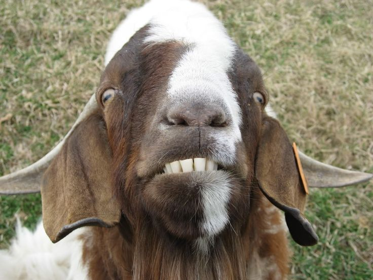 6af743425aa6b0c49ffd58ed7cdd7e31 animal fun spirit animal 24 best billy goat images on pinterest goat, farm animals and goats,Billy Goat Meme