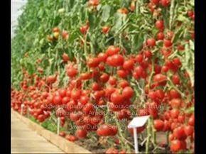 Практические советы по выращиванию томатов - YouTube