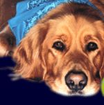 Home Page - Yankee Golden Retriever Rescue - Adoption and placement for Golden Retriever dogs. A non-profit organization. Serving New England