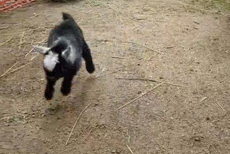 White Wolf: Two Newborn Pygmy Goats Do a Happy Dance (Videos)