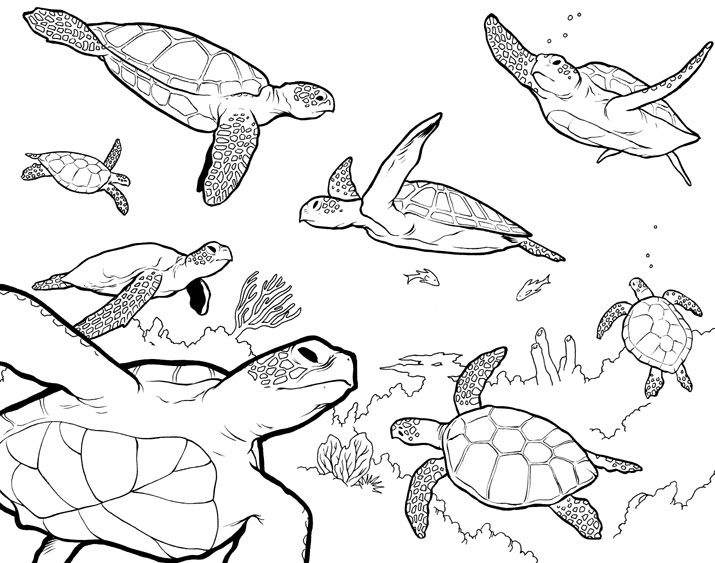 Line Drawing Turtle : Sea turtle drawings g turtles