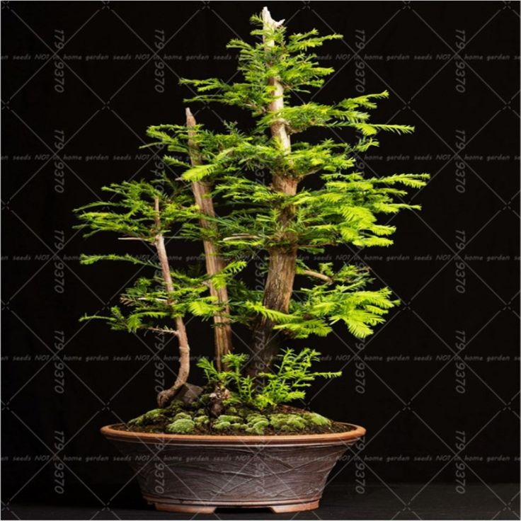100pcs/bag America Coast Redwood Seeds Sequoia sempervirens Bonsai tree ,tree seeds,Decoration plants for home garden. Yesterday's price: US $0.89 (0.73 EUR). Today's price: US $0.40 (0.33 EUR). Discount: 55%.