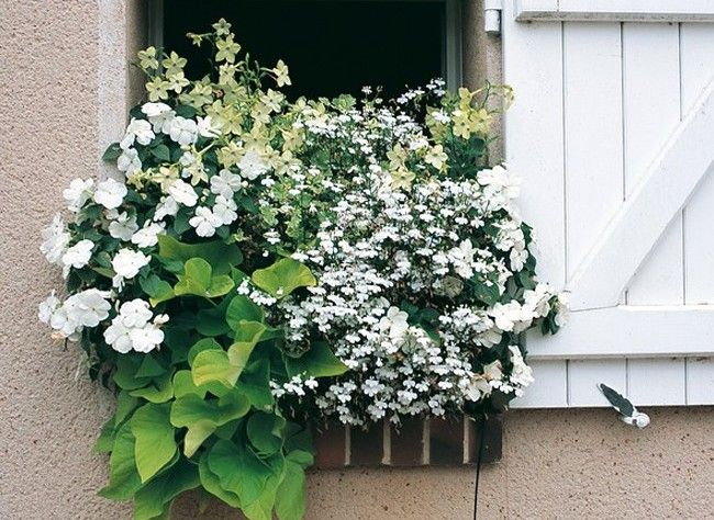 Green - White container garden |Lobelia 'Anabel', Impatiens, (Ipomoea batatas) 'Sweet Caroline Sweetheart Light Green' and  Nicotiana 'Lime Green'.