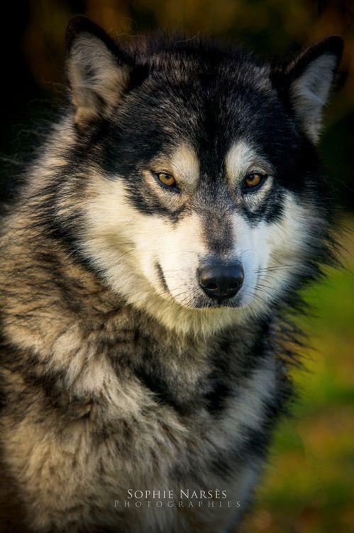 11 best wolf mix images on Pinterest  |Black Siberian Husky Wolf Mix