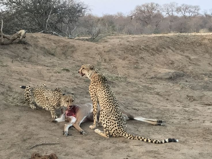 Cheetah kill. They were exhausted.