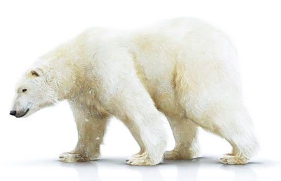 Oso polar (Ursus maritimus). 7a de las 8 especies de osos vivientes en el planeta.