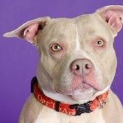 Haze Dog • American Staffordshire Terrier • Young • Female • Medium -  Yonkers Animal Shelter -Yonkers, NY