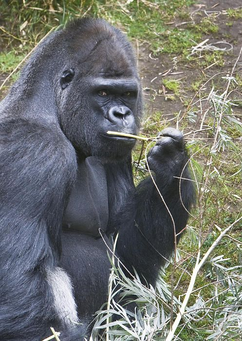 an introduction to the nature of gorilla gorilla Western lowland adult male gorillas (gorilla gorilla gorilla) cross river gorillas (gorilla gorilla diehli) have been difficult to study due to their shy nature.